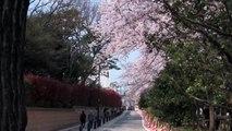 Cherry Blossoms viewing in Tokyo, Sakura in Japan