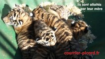 Oise : des petits tigres au Parc des Grands Félins