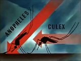 Mosquito - The Malaria Carrier - 1940's - Anopheles Mosquitoes