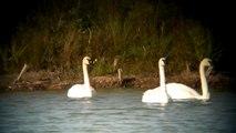 Trumpeter Swan's Displaying