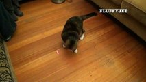 Dizzy Kitty vs. Laser Pointer (funny cat video) - Cat Plays Chasey with Laser Light