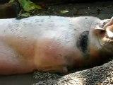 Fette faule Schweine im Minizoo