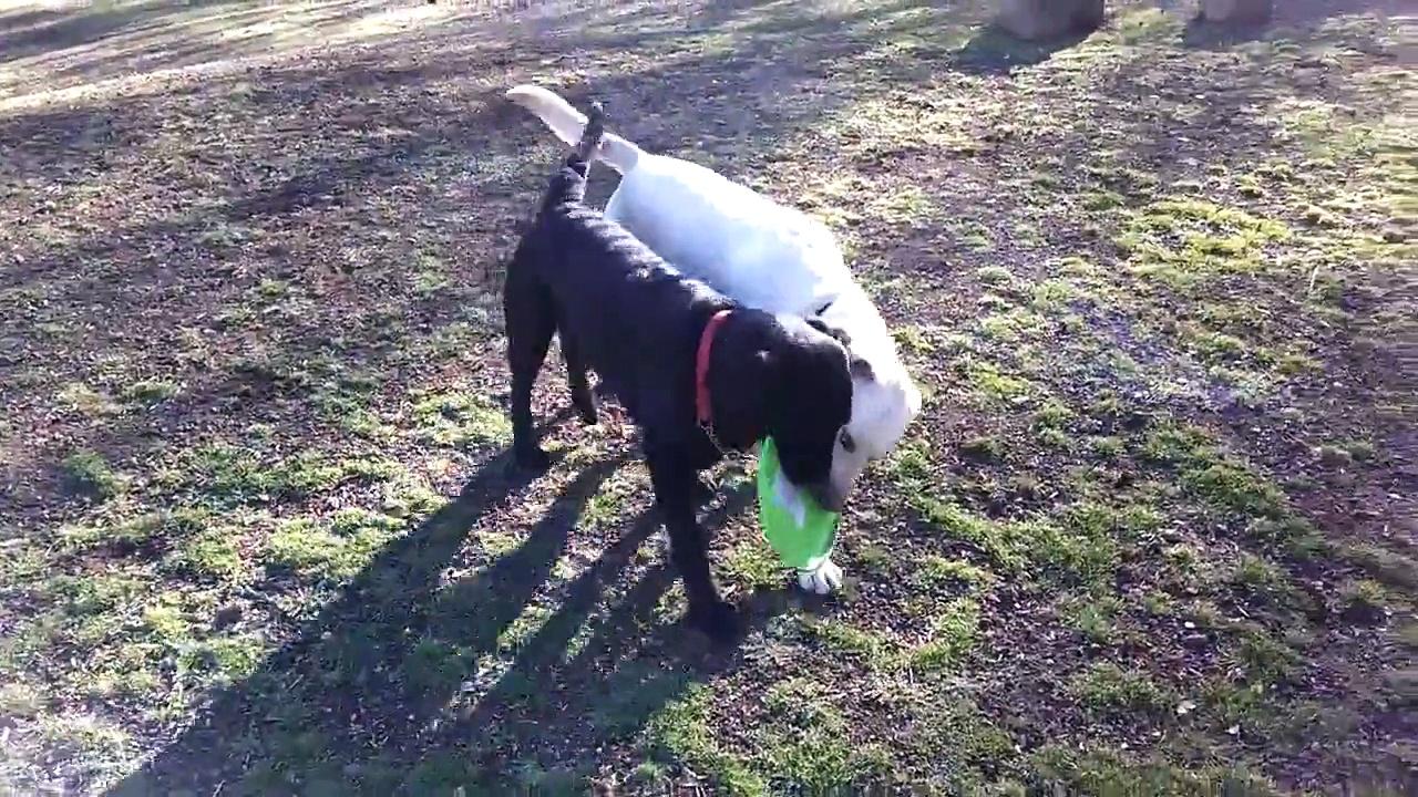 Labradors Playing Frisbee