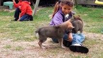 Vidéo chiots chiens loups tchecoslovaques agés 38 jours elevage akairo 2013