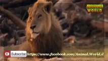 Full Documentaries National Geographic Lion vs Hippo   Animal documentaries   Lions Documentary mp4