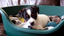 Jack Russell  (Skid) puppy aged 8 weeks.  Jack Russell puppies are just lovely.