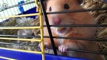 """Hamster sooo cute ! Mrs. EMMA the HAMSTER (42) funny animal """"nom nom nom"""" bgt 2012"""