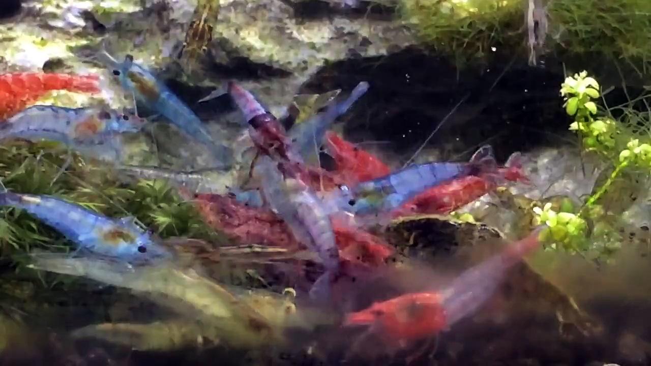 Cherry Shrimp feeding