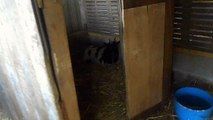 Mise bas chèvre naine