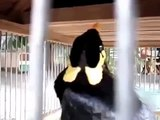 Mynah Bird Imitates Cell Phone Sounds Funny Animal Videos-15.08.2013.mp4