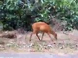 Barking Deer in Khao Yai National Park, Thailand