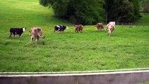 vaches heureuses de retourner dans les pâtures