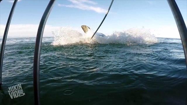 Great White Shark Attacks Metal Cage   Shark Bait