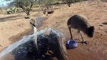 Emu & Ostrich Chicks Play In Water ~ Big wet birds!
