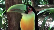 Beautiful Birds Of The World Video: Toucan Birds: Colorful Birds: The Toucan