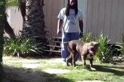 Bully pitbull, largest XXL Blue Bully Pitbull, BIG GEMINI KENNELS CUJO, 144 LBS, BIG Pit bull