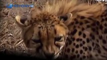 Cheetah attacked reporter. Cheetah attack the people / Animal Attacks on Human