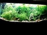 55 gallon Xiphophorus hellerii planted aquarium