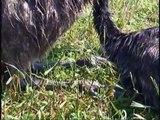 Emu Chicks @ 9.5 weeks of age
