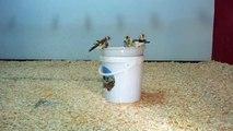 pintassilgos major mutados  chardonneret goldfinch carduelis stieglitz jilguero mayor 2013