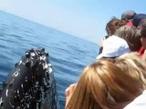 Whale Watching - Spyhops / Breaches Inches from Boat!