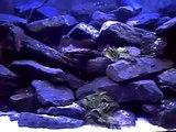 Mon aquarium de 250 litres du Lac Tanganyika