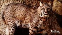 Jaguar (Animales Salvajes) Felinos Documental   Documentales Completos en español