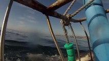 GREAT WHITE SHARKS BREACHING in MOSSEL BAY- july 06 2015