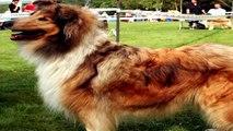 Collie Perro Tricolor Pelo Corto Y Largo Tipo Lassie - Collie Agility Photos Dog Funny Animales HD