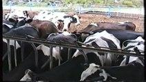 Una vaca muy lista - une vache très intelligent - smart cow- una vaca inteligente
