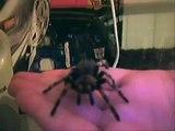 Brachypelma smithi on my hand