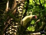 Picus viridis- L'albero del verde