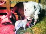 Chèvres miniatures des Tourelles - les chevreaux triplés de CIGALINE !