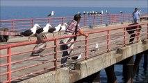 Valparaiso, Lions de mer, Pélicans, Goélands au port de pêche de Caleta Portales