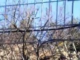 Jewish terrorist israeli settler saws off and steals branches of fruit trees in Palestinians orchard