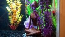 10 gallon aquarium tank. 2.5 gallon betta tank. platy fish. african dwarf frogs.