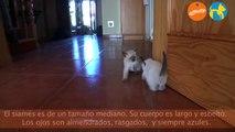 Gatos siameses -  Más que perros y gatos - Contenido Exclusivo