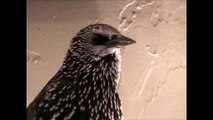 starling bird talking Whistling Dixie Poppy UP CLOSE! Singing Dixie- CUTE!