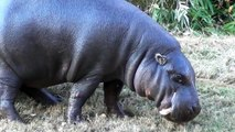 Pygmy Hippopotamus marks its Territory