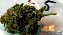 The Highlife (Cannabis) Cup 2012 - The Autoflowering Category Entries (Photos)