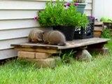 Groundhogs Fighting Groundhog Fight