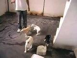 filhotes de pastor alemão branco com labrador