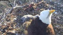 MNBound Eagles Peace at 11 Days & Harmony at 14 Days Old 4-29-13