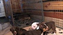 ForeverFriendsBulls Renascence Bulldogs pups 5 weeks old.