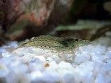 Akvarijní krevetka - Caridina japonica