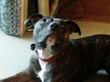 Dog Rescue, Dotty In Foster Looking For a Good Home, Rain Rescue uk
