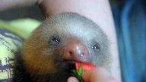 Baby sloth eats flowers / Bébé paresseux mange des fleurs
