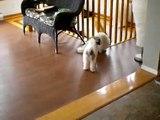 Shih-Tzu and Mal Shi puppies playing