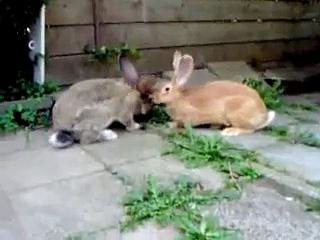My Giant Rabbits.