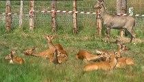 Zoo de Branféré : première sortie des rhinocéros dans la vallée indienne